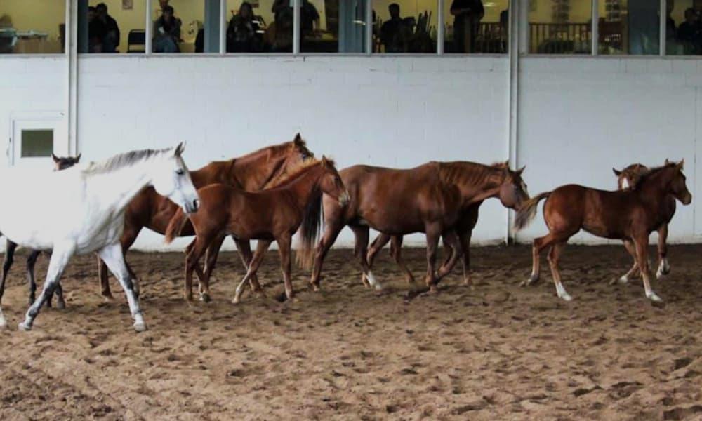 Quarter Horse Mares and foals at Sovereign Quarter Horses 2019